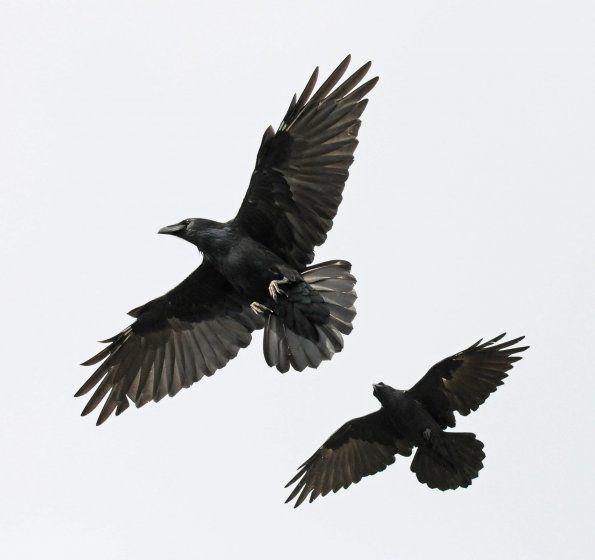 2-ravens.jpg